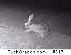 Digging Black-tailed Jackrabbit - Ruch, Oregon  by kennygadams