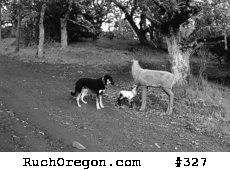 Dog with Lamb and a Decoy Doe Deer - Ruch, Oregon  by kennygadams