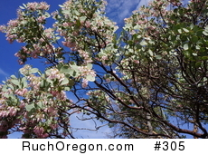 Manzanita Tree with Pink Flowers in Ruch, Oregon  by kennygadams