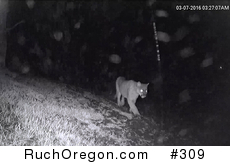 Mountain Lion Photo - Ruch, Oregon  by kennygadams