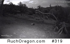 Opossum (Didelphis virginiana) in Ruch, Oregon  by kennygadams