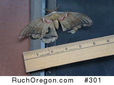 Polyphemus moth (Antheraea polyphemus) - Ruch, Oregon   by kennygadams