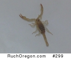 Swollenstinger Scorpion found in Ruch, Oregon  by kennygadams