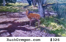 Tree squirrel on a decoy doe deer - Ruch, Oregon  by kennygadams