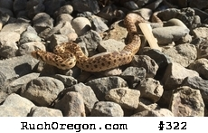 Young gopher snake on driveway - Ruch, Oregon  by kennygadams